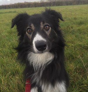 Meet Ranger who needs a collie savvy home or someone who enjoys a clever dog! He can be left for up to 4 hours as long as he has had a good walk. This will initially need to be worked on for any new home. GOOD WITH CHILDREN: He lived with young children but we …