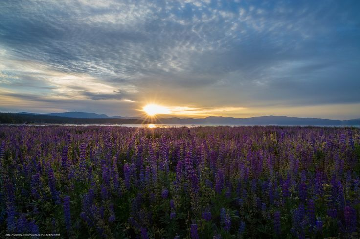Lake Tahoe, California, Nevada, озеро Тахо, Калифорния, Невада, озеро, рассвет, восход, луг, цветы, люпины