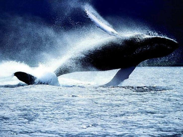 whales are sooo beautiful