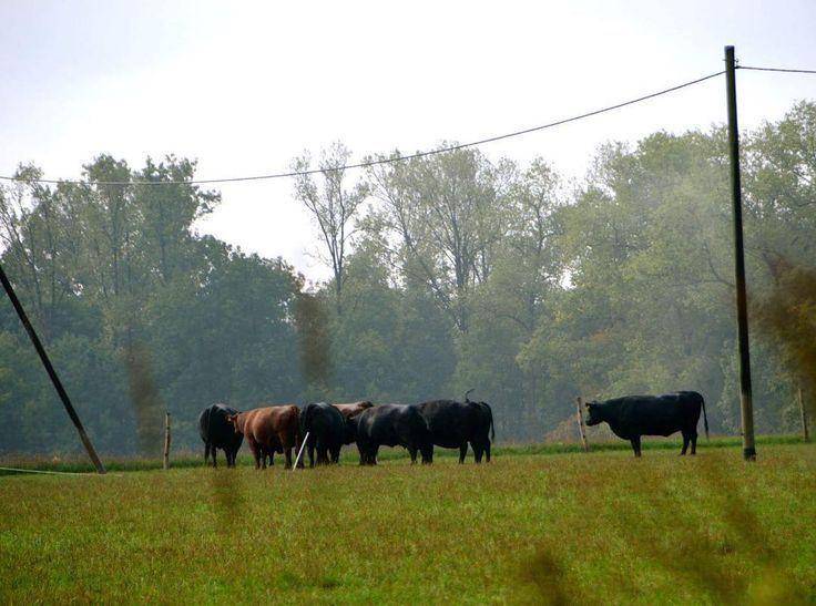 Einer ist immer im Abseits 🤣 #kühe#cows#schwarzekühe#abseits#aussenseiter -…