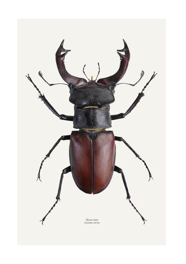 Beetles: Liljenbergs. Stag beetle male