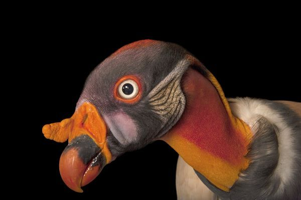 King Vulture pictured here, & the Andean Condor have these elaborate skin folds & fleshy wattles. Gladys Porter Zoo, Brownsville, Texas - National Geographic Animals