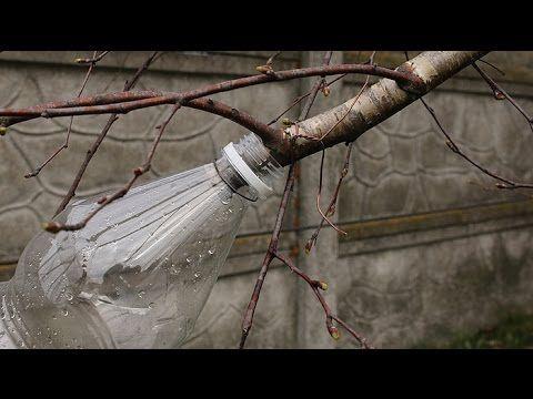 Woda z brzozy (wiosenny orzeźwiający napój) - YouTube
