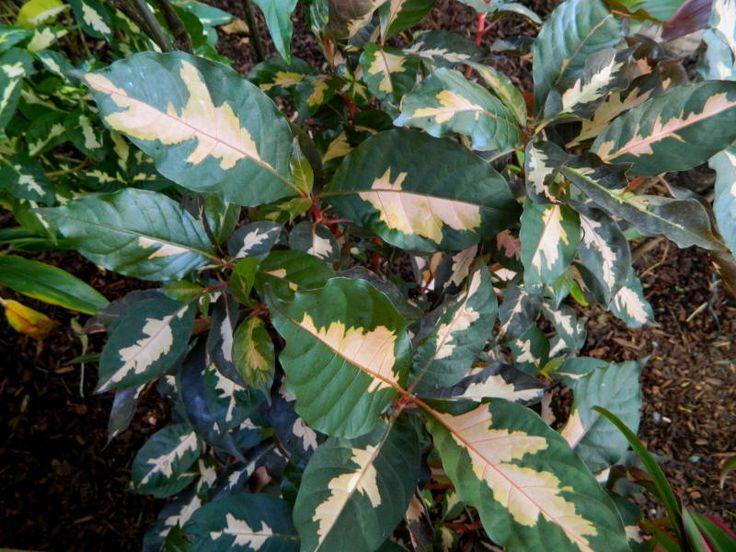 Graptophyllum pictum 'Chocolate'