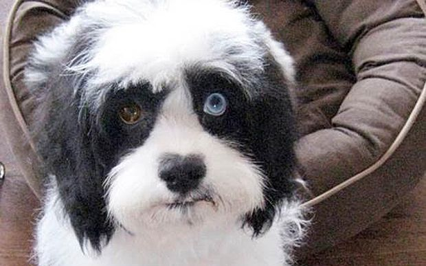 David Bowie's dog Max http://www.telegraph.co.uk/news/newstopics/howaboutthat/12139183/David-Bowies-dog-revealed-to-have-brown-and-blue-eyes-just-like-the-singer.html
