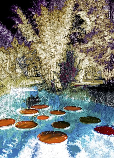 Actual Infrared film used on these lily pads and bamboo trees. Used the selection tool to add color in Photoshop.
