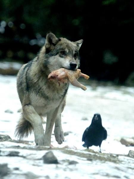 Wolf With Prey Amp Raven Raven Wolf Wolf People Wolf Love