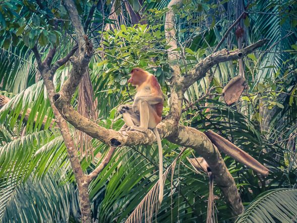 Planning to visit Kuching and Bako National Park? Check our tips for your visit and you will definitely spot the famous and rare proboscis monkeys!