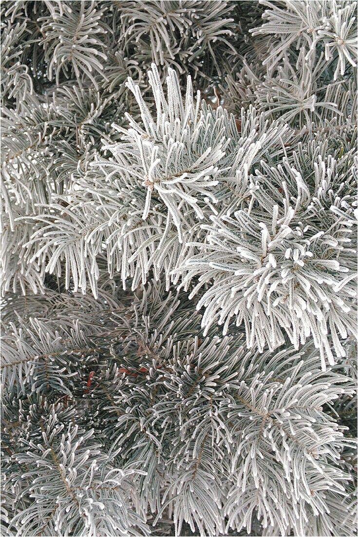 #szron #zimno #mróz #sosna #pinus #WOBiAK #SGGW 🌲❄❄❄ # frost #freeze #WULS