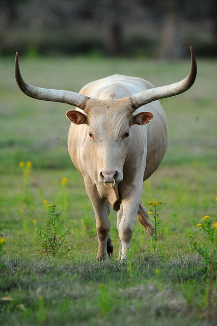 The Texas Longhorn is the only breed of cattle that has its roots in the United States. Both bulls and cows have the characteristic horns which can measure up to seven feet!. http://www.annabelchaffer.com/