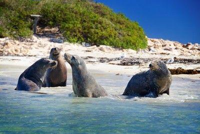 View wild seals just 40 minutes from #Perth #Western Australia visit www.sigthseeingpassaustralia.com