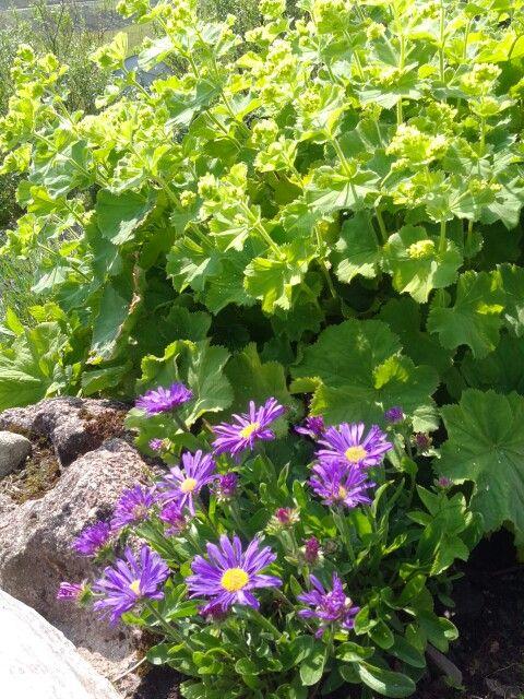 Shetland garden.