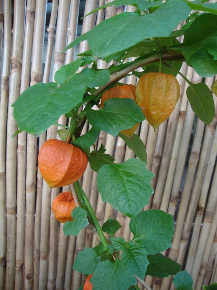 physalis alkekengi simply orange lampionblume einfach orange physalis ...