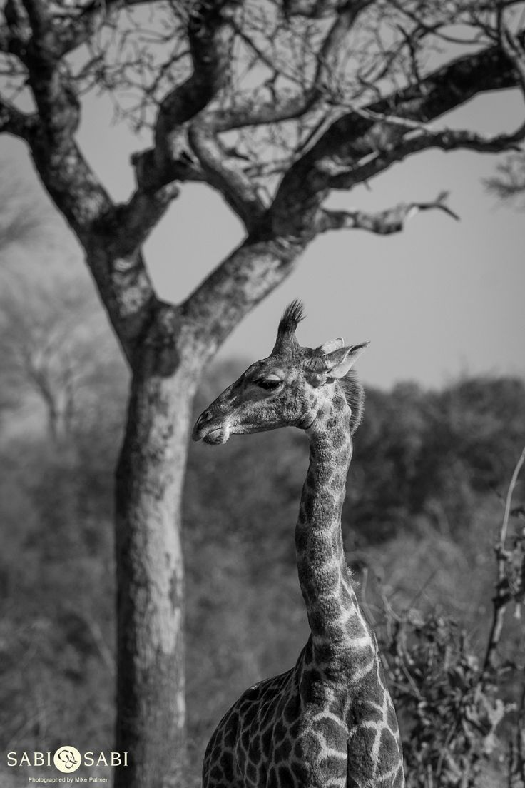 A young giraffe looks back to check its surroundings.