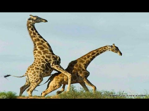 Giraffe Vs Giraffe Deadliest Fight Ever Seen - Nat Geo Wild - YouTube