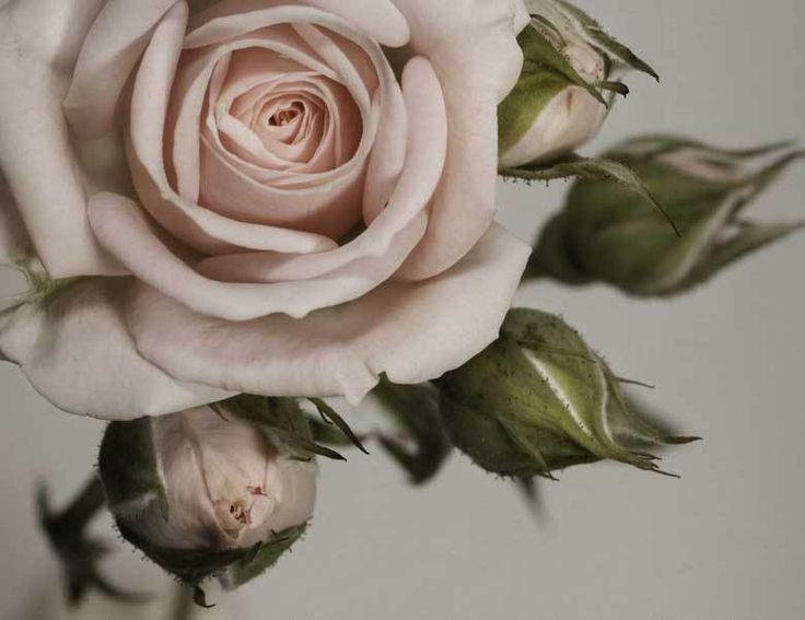 Poster  Fototapete  selbstklebend  Blumen Rose  Knospen