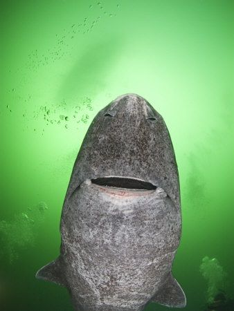 GREENLAND SHARK! These sharks are now living in the St. Lawrence River! Think I am kidding? Look it up. (ps they likely won't attack but damn they are scary looking)