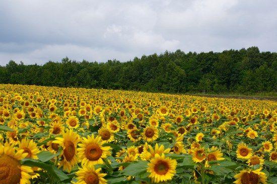 Kebun bunga matahari Himawari no Sato