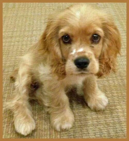 Coker Spaniel puppy