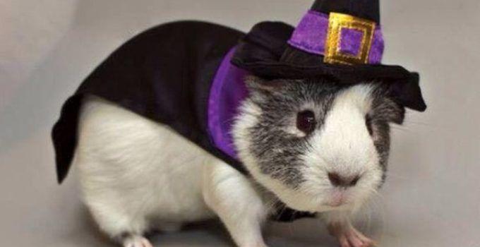 guinea pig clothes uk