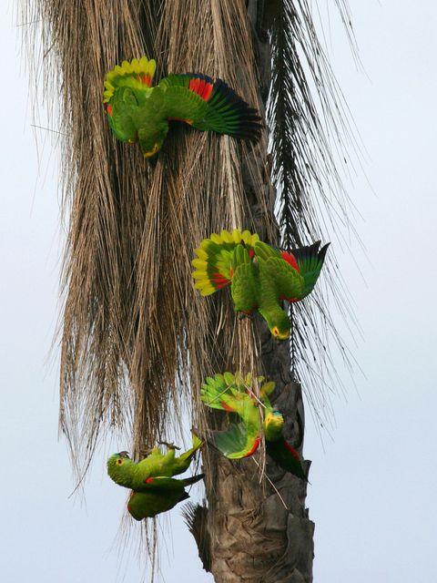 Hureure (Papagaio-verdadeiro, Amazona aestiva) (foto Marcelo Monteiro)