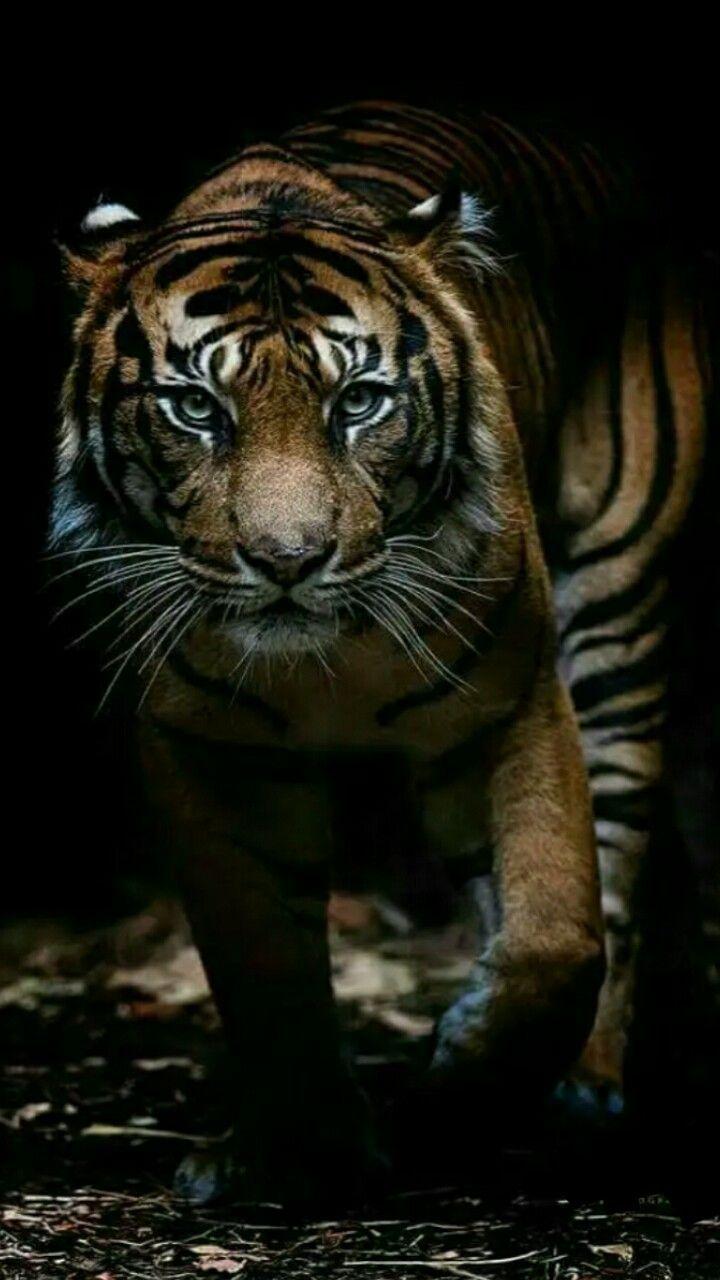 Pin Oleh Willem Peters Di Harimau Harimau Gambar