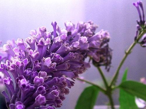 Japán nyári orgona - Buddleia japonica