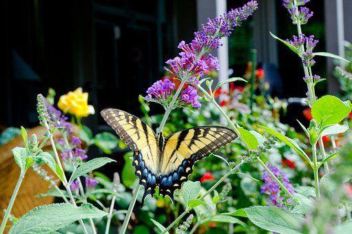Butterfly, Butterfly Bush, Colorful