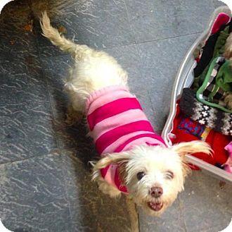 Manhattan, NY - Poodle (Miniature)/Maltese Mix. Meet Fluffy, a dog for adoption. http://www.adoptapet.com/pet/12654570-manhattan-new-york-poodle-miniature-mix