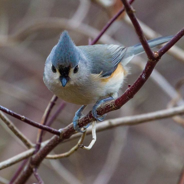 This is a tufted titmouse another #bird that you'll see year-round in our region. Sunflower seeds are their favorite if you would like to attract them to your feeder but they will eat other types of suet and seeds as well. These birds also live in cavities so nest boxes might also attract one to your backyard.  Photo by John Kocijanski.  #nature #landtrust #dhconservancy #delawareriver #landconservation #conservation #forests #cleanwater #protectedland #optoutside #liveauthentic #pin…