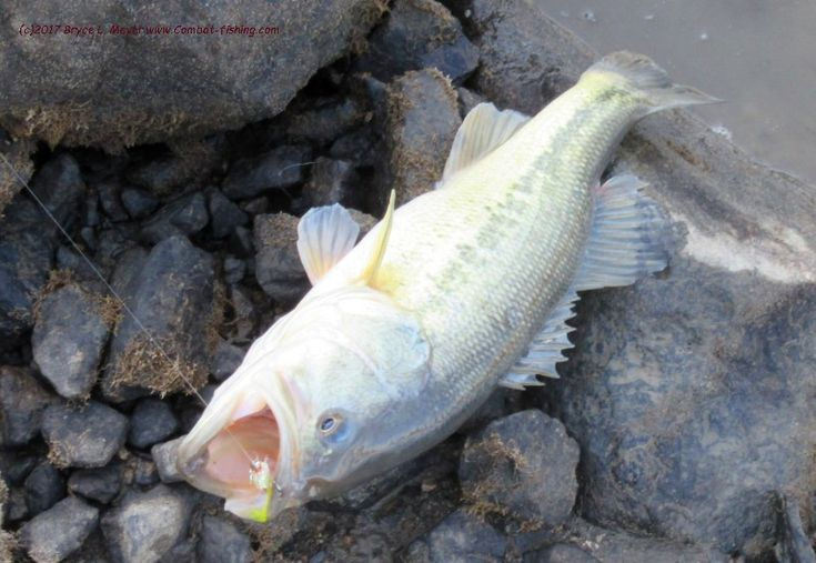 A Mississippi River Sandy Slough fly rod largemouth bass. Many fish feed between ice overs, and will take a size 6 beadhead estaz and yellow streamer among other flies.