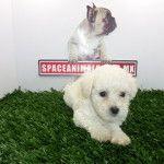 Venta de cachorros frech poodle miniatura hembras y machos Cachorros perros mas vendidos - Venta de cachorros perros