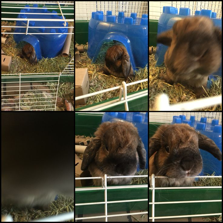 Mister Flopsy: The Holland Lop.  A brief collage