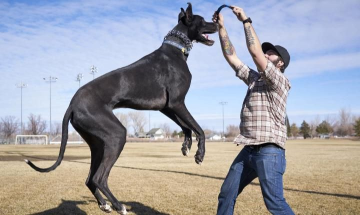 The Great Dane Is More Than A Gigantic Canine Its Brain Matter Is