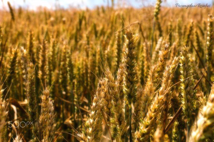 Wheat - null
