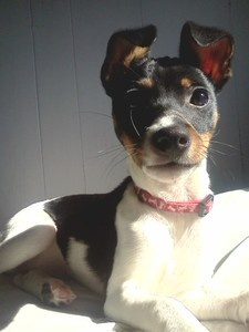 Picture of Yuki Sohma Burke, a male Rat Terrier