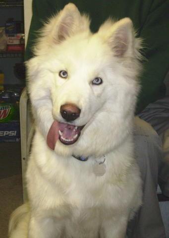 58 Best Samoyed Mixed Images On Pinterest Doggies