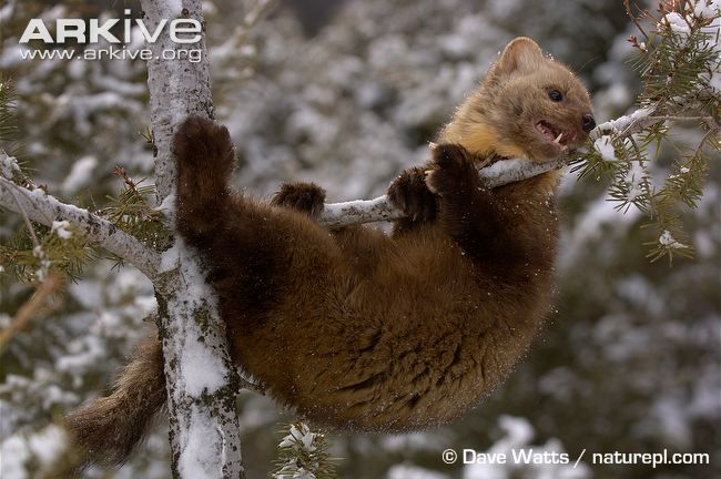 American marten videos, photos and facts - Martes americana | ARKive