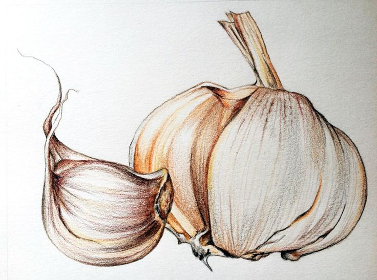 garlic, illustration, чеснок, иллюстрация, Knoblauch, drawing