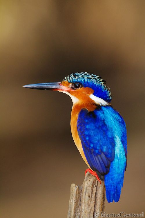 Madagascar Kingfisher