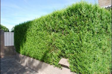 Reuzenlevensboom 'Martin'   De Thuja plicata 'Martin' (Reuzenlevensboom 'Martin') is een haagconifeer die een schitterende, compacte en wintergroene haag vormt. De glanzende bladeren zijn groen tot donkergroen en ruiken lekker wanneer men ze verpulvert. De vruchten van de Reuzenlevensboom 'Martin' zien eruit als kleine kegeltjes. Het snoeien kan best gebeuren in de vroege herfst. De Reuzenlevensboom 'Martin' groeit op vrijwel alle bodems en is zeer winterhard.