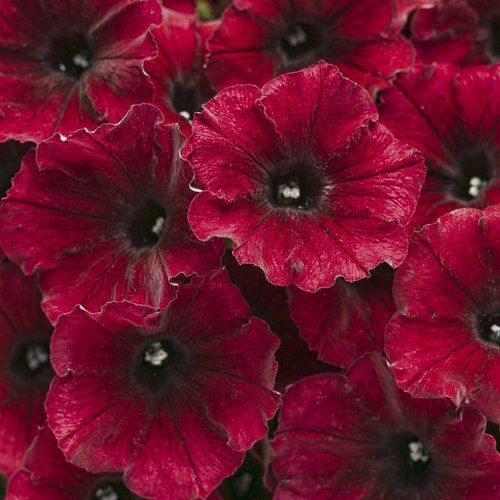 Supertunia® Black Cherry - Petunia hybrid | Proven Winners-continuous bloom or rebloomer, heat tolerant, attracts hummingbirds and butterflies
