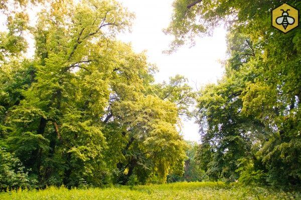 Okazałe lipy drobnolistne w parku dworskim w Konarzewie.