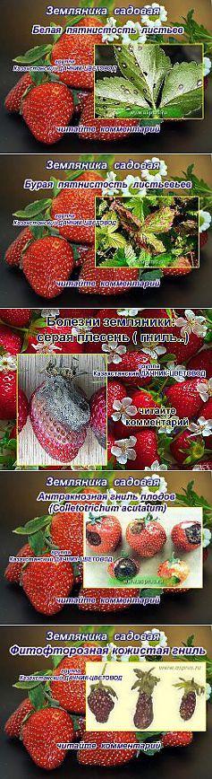 болезни земляники | Выращивание земляники | Постила