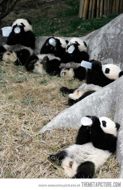 Baby pandas having bottles!