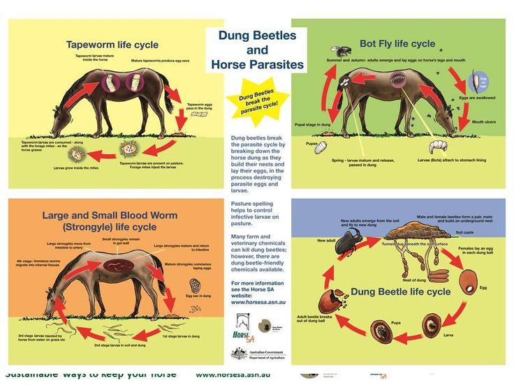 """""""If you need to use toxic chemicals, it is best to use them when dung beetles are not active."""" Moksidektiini näyttäisi olevan turvallista lantakuoriaisille, muut 'mektiinit' eivät."""