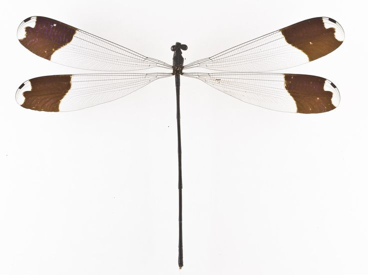 Megaloprepus caerulatus, damselfly, dried specimen. Insects evolved the ability to fly over 400 million years ago and today there are so many flying insects, it is not known how many millions of species there are.