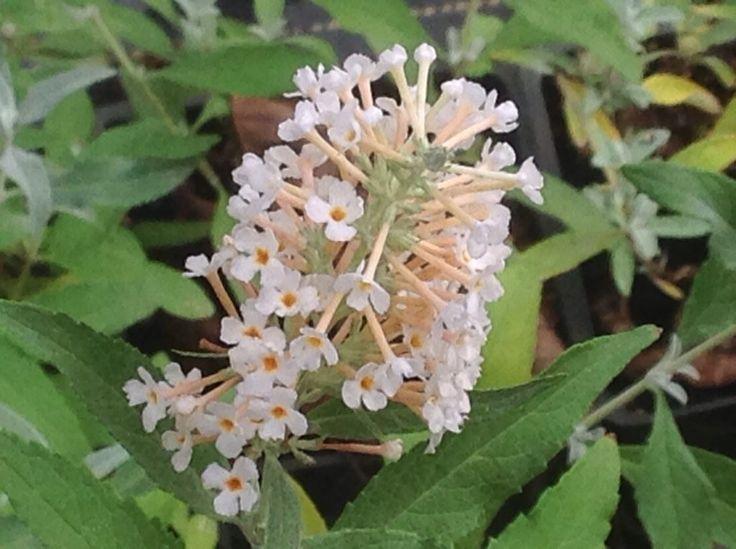 Buddleia davidii 'Buzz Ivory' | Ivory Dwarf Butterfly Bush