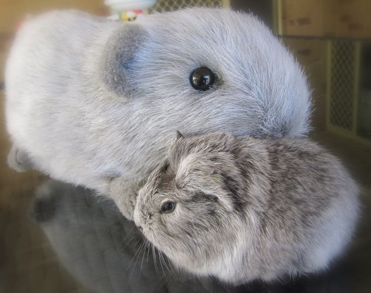 Image result for baby guinea pigs for sale
