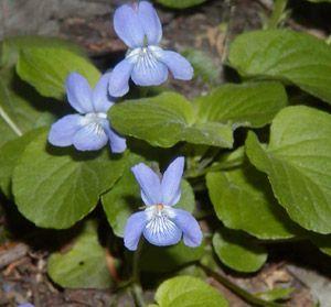 Bog Violet